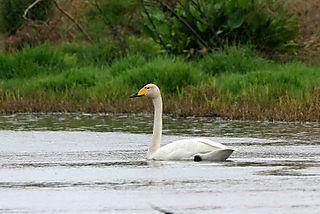 Cisne cantor 02r